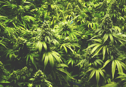 Cannabis et musculation : peut-on progresser aussi rapidement ?