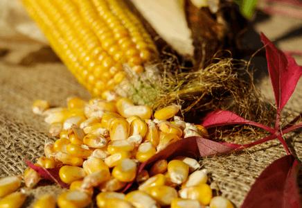 Manger du maïs en musculation