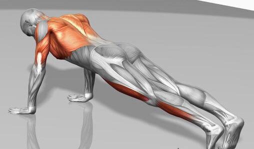 Les muscles sollicités lors des pompes