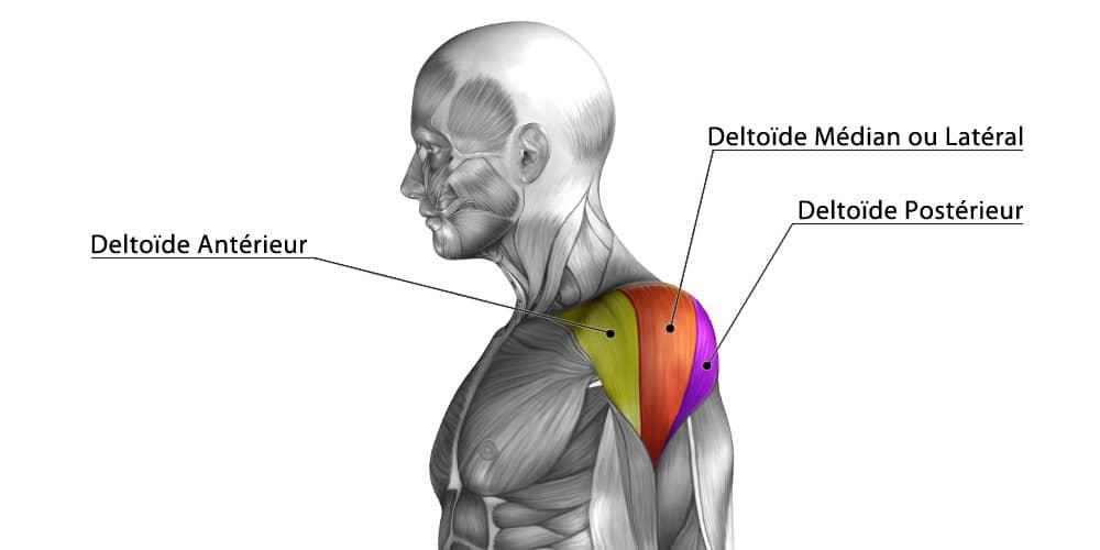 Deltoïde arrière