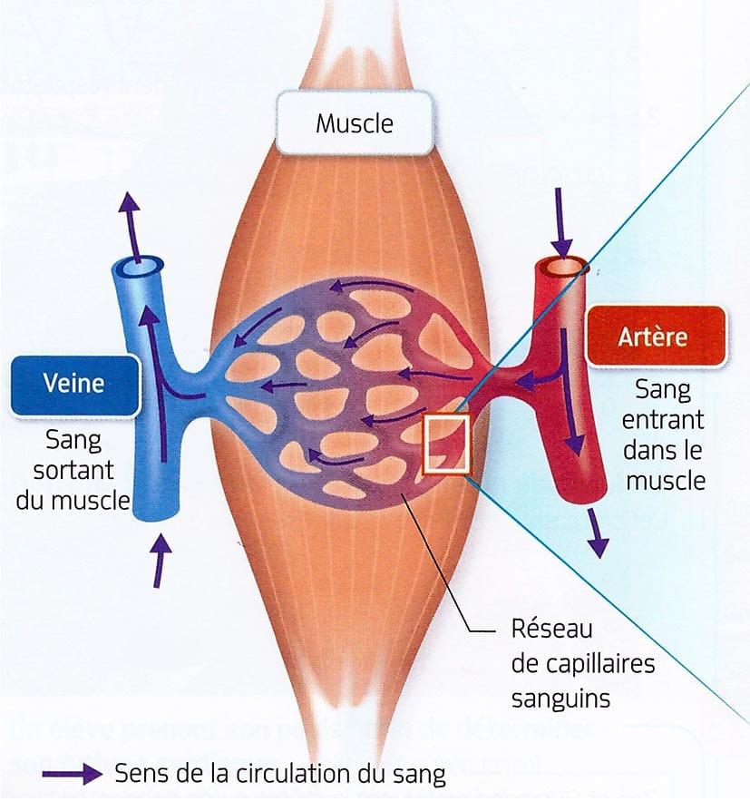 Irrigation du muscle