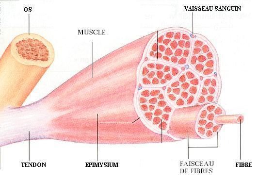 fibre musculaire