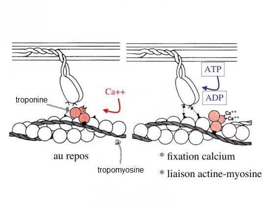 Schema ion calcium