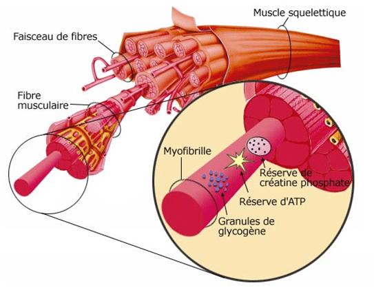 facteurs de croissance musculaire
