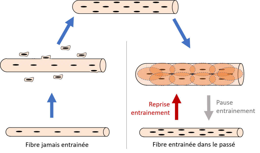 hypertropie musculaire