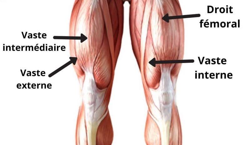 muscles quadriceps