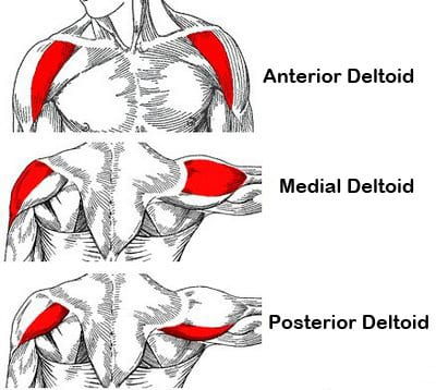 musculation haut du corps