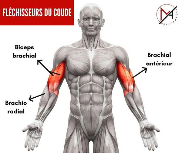 biceps brachial