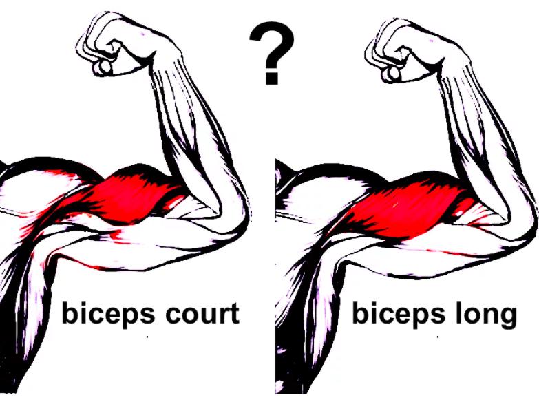 biceps long ou court