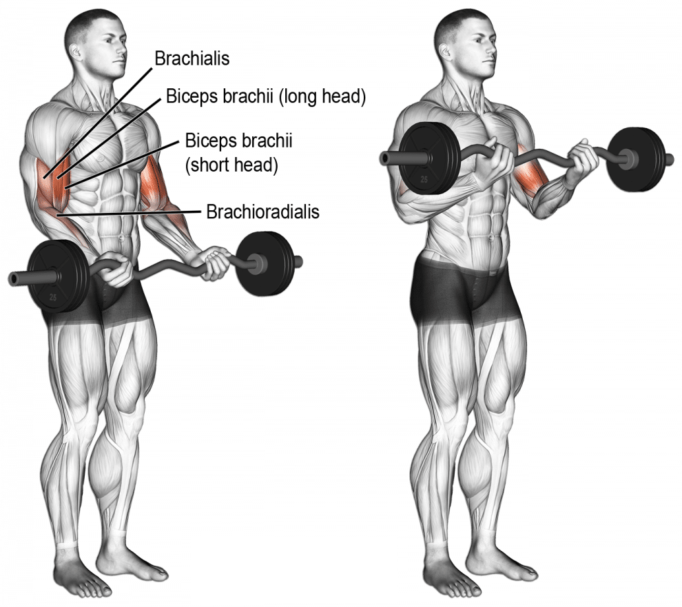Les biceps curl