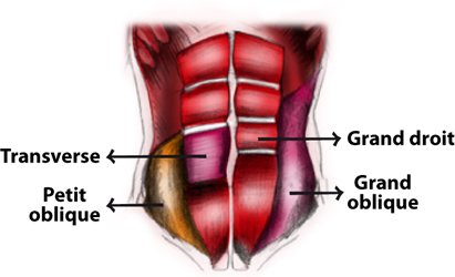 abdominaux muscle