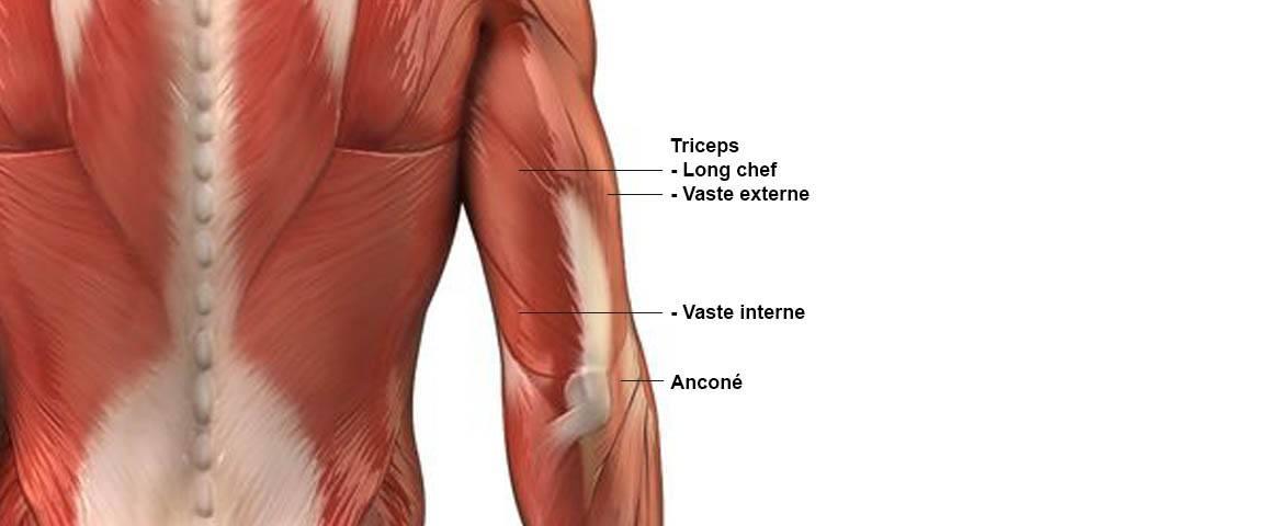 muscles des triceps