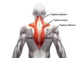 muscles des trapèzes